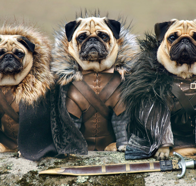 cute-pugs-game-of-thrones-pugs-of-wester