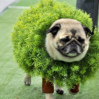 halloween-pug-hedge.jpg