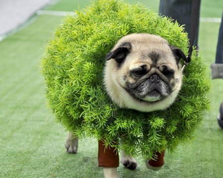 halloween-pug-hedge.jpg