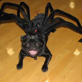 pug-spider-costume.jpg
