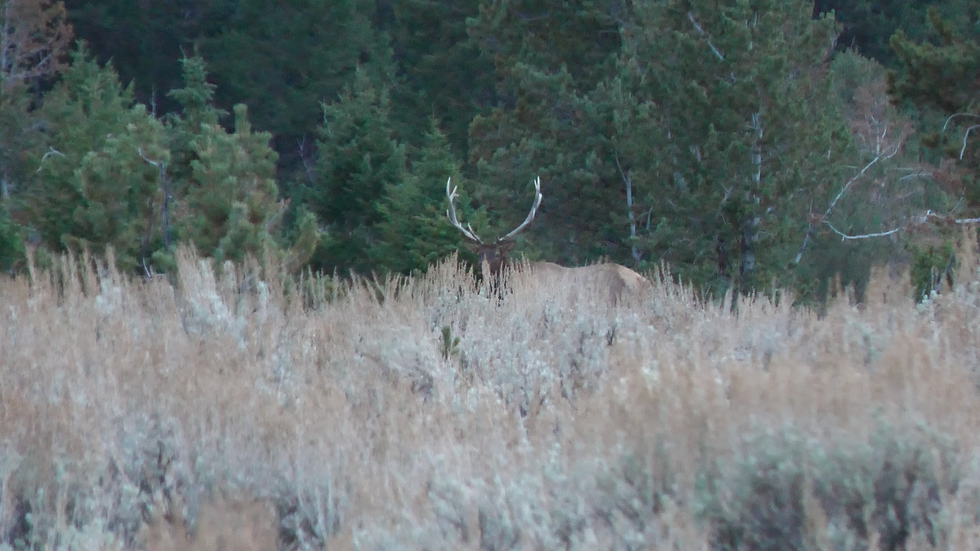 Bull Elk.png