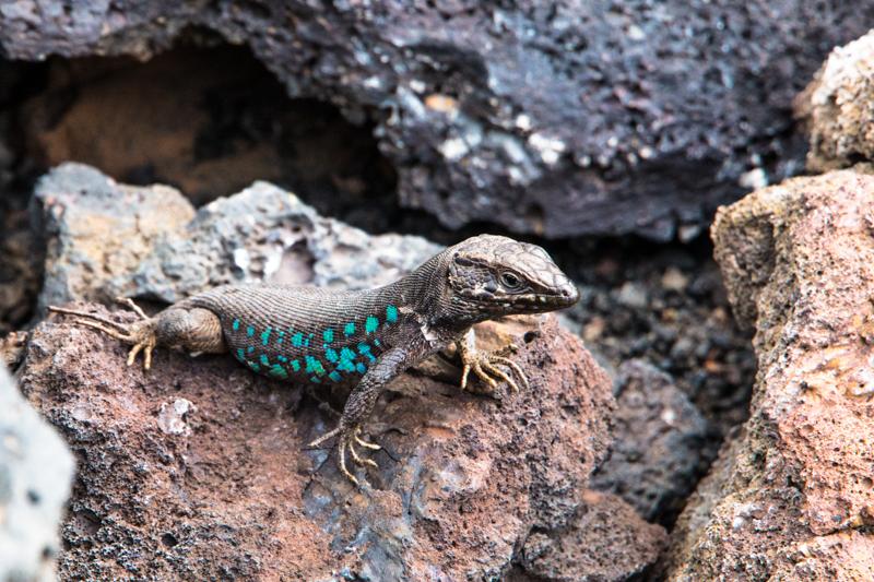 Reptile de volcan