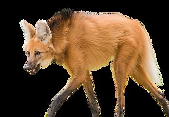 kisspng-dog-breed-maned-wolf-dhole-lion-