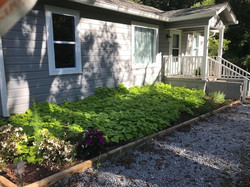 potato plants front 1