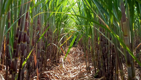 3 optimization strategies for the sugarcane industry