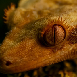 Rhacodactylus ciliatus-3.jpg