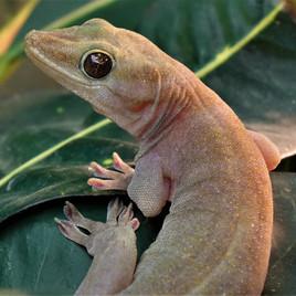 Gecko ulikowski MAIN.jpg