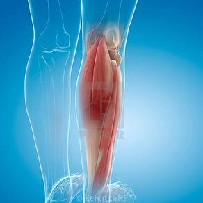 lower leg muscles.jpg