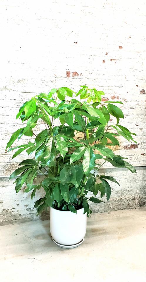 10 Quot Schefflera Amate In Large 336 White Ceramic Planter