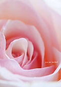 •Flowers_pale_pink_FRONT.jpg