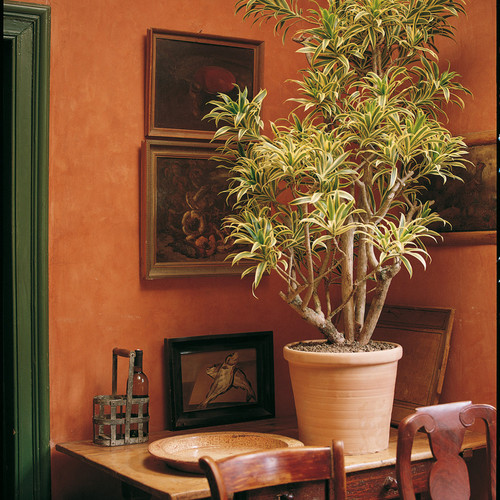 Dracaena_re_Song_of_India__0000_015291.j