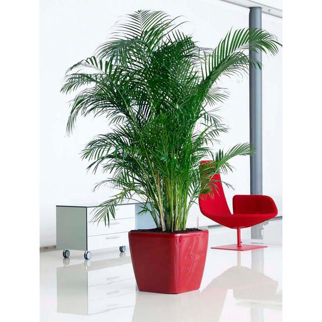 Chrysalidocarpus_lutescens__0000_012492.