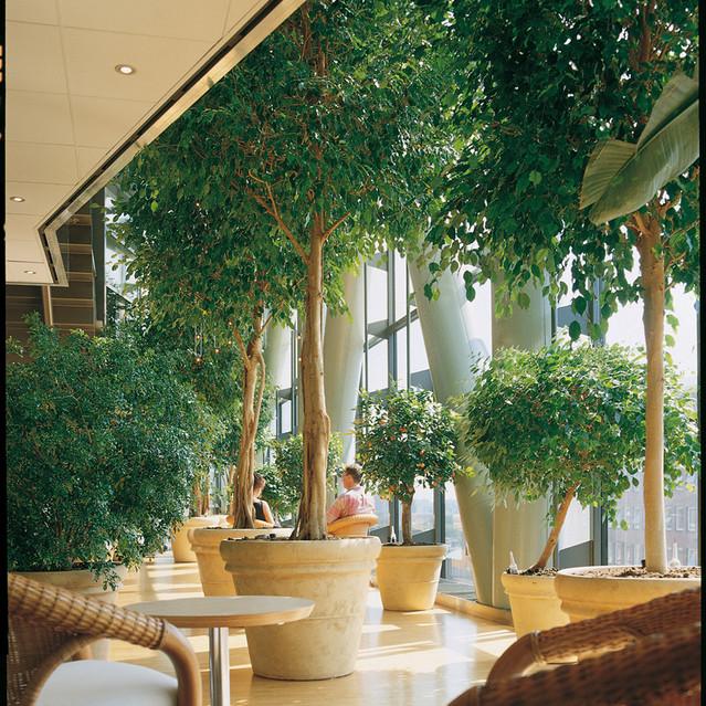 Ficus__0000_017090.jpg
