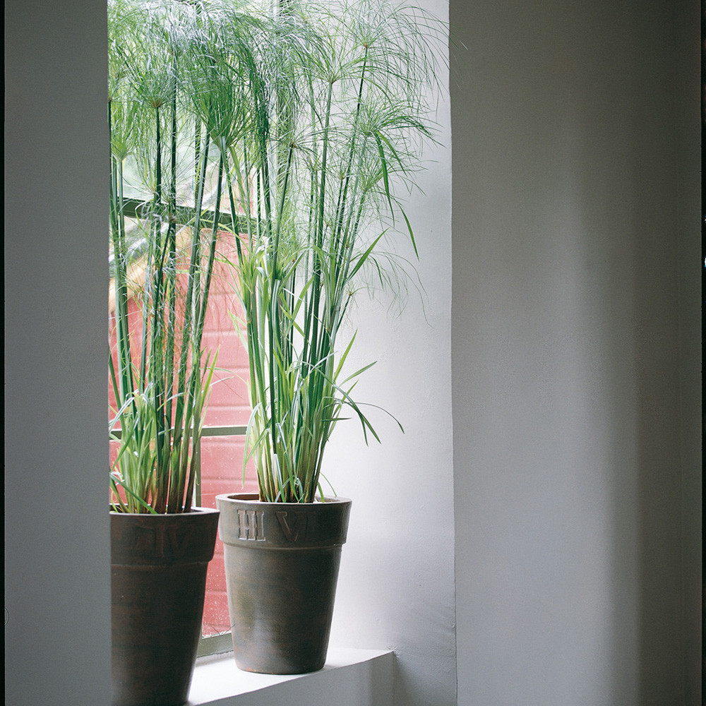 Cyperus_papyrus__0000_015290.jpg