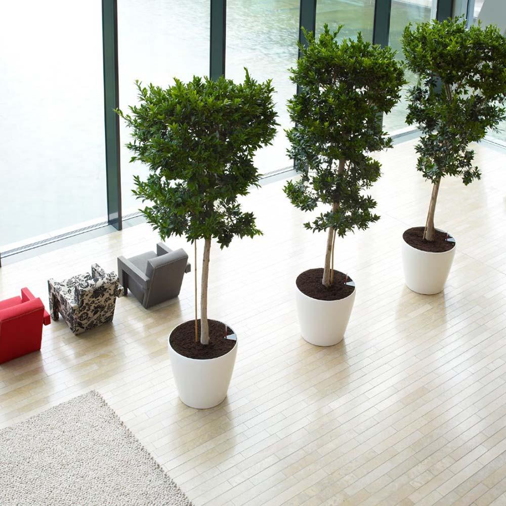 Ficus_retusa__0000_012363 (1).jpg