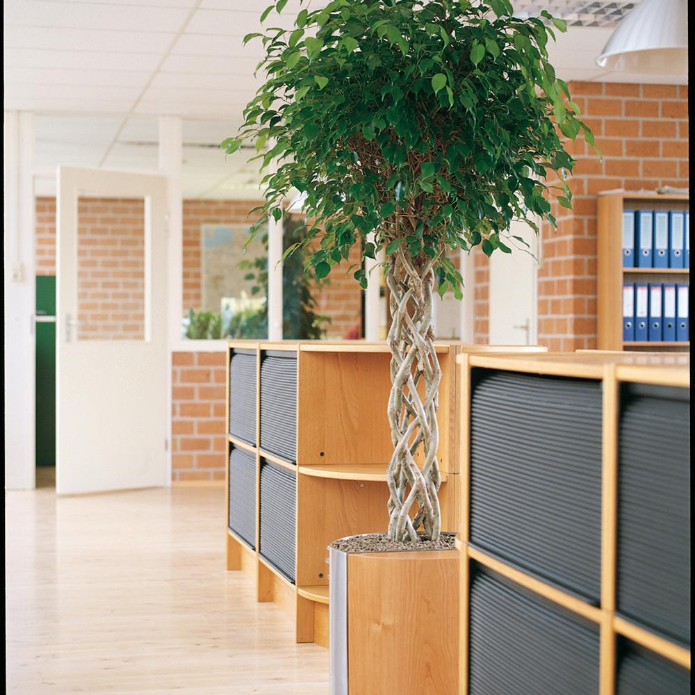 Ficus_benj_Exotica__0000_017094.jpg