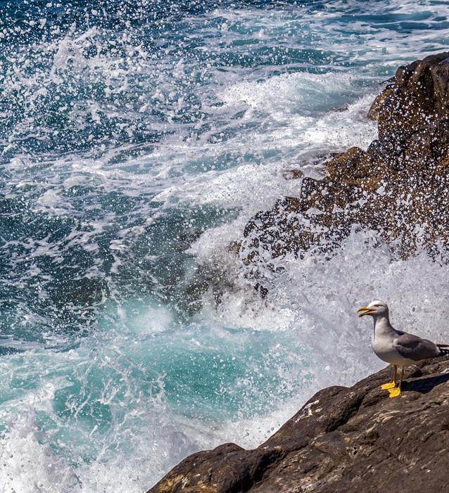 En mås i Cinque Terre, Italien.