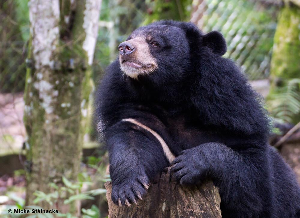 Malajbjörn vid räddningsstation i Kuang Si, Laos.