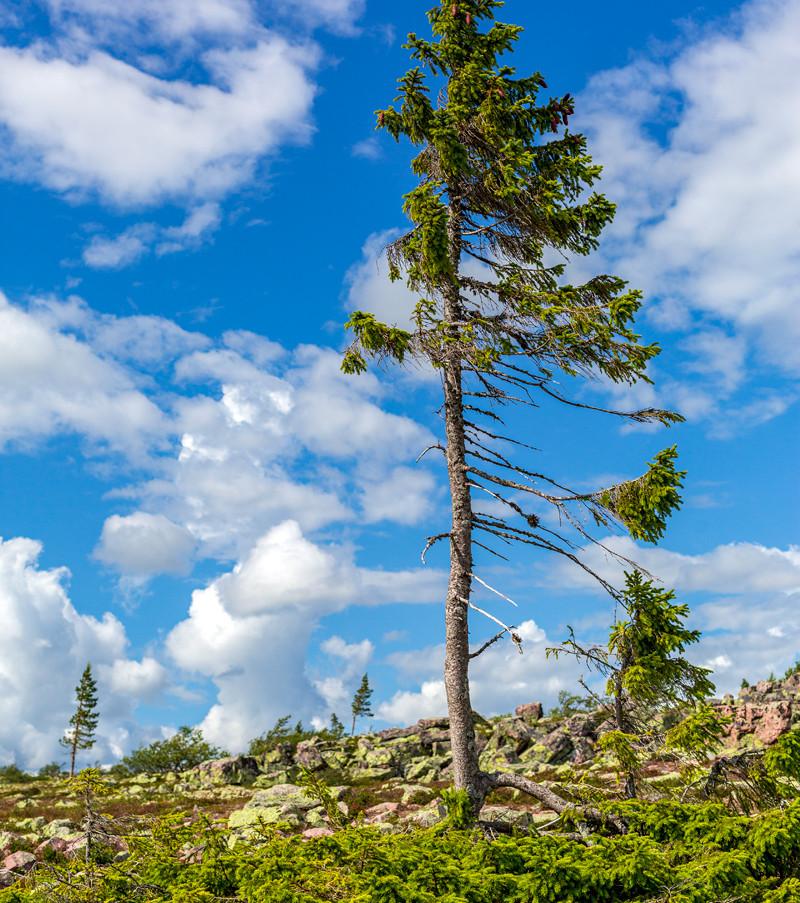 Världens äldsta trädklon i Fulufjällets nationalpark, Dalarna. Klicka på pilarna i vänstra hörnet för större version av bilden.