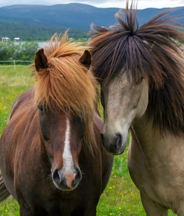 Nyfikna hästar i Alalahti utanför Kiruna.