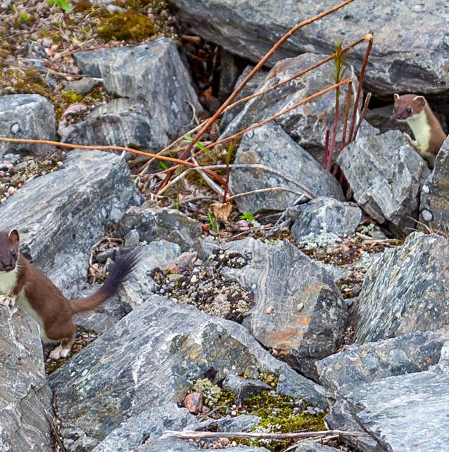 Två nyfikna hermeliner spexade loss i Tornehamn utanför Kiruna.