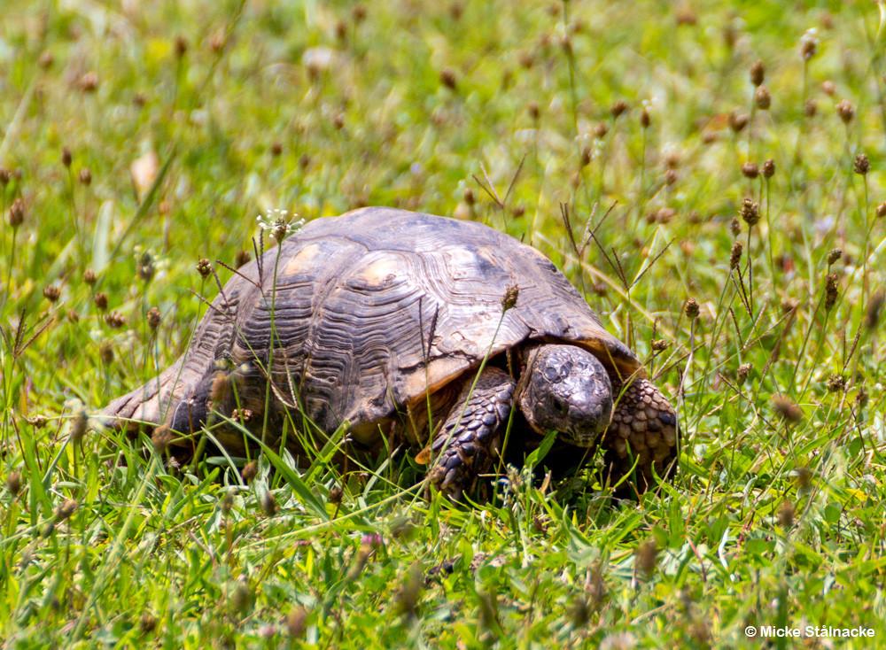 Sköldpadda på promenad i Aten, Grekland.