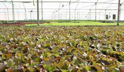 Aquaponic Lettuce (Red Batavia)