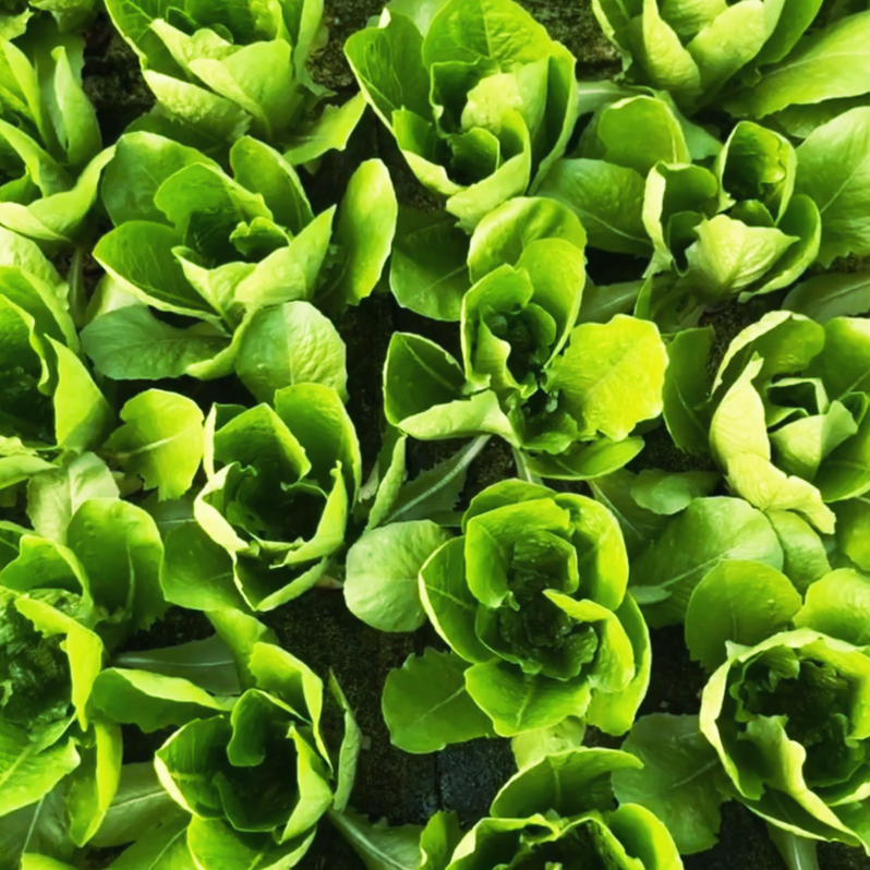 Hydroponic Romaine Lettuce by Agrimatic Farms