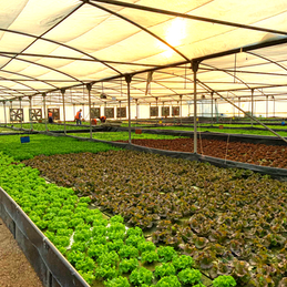 Intensive Sustainable Leafy Greens Growing in Aquaponic Greenhouse