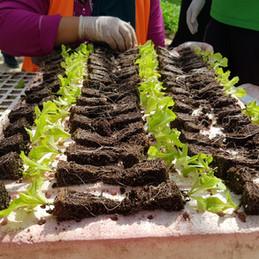 Seedlings for Aquaponic Lettuce