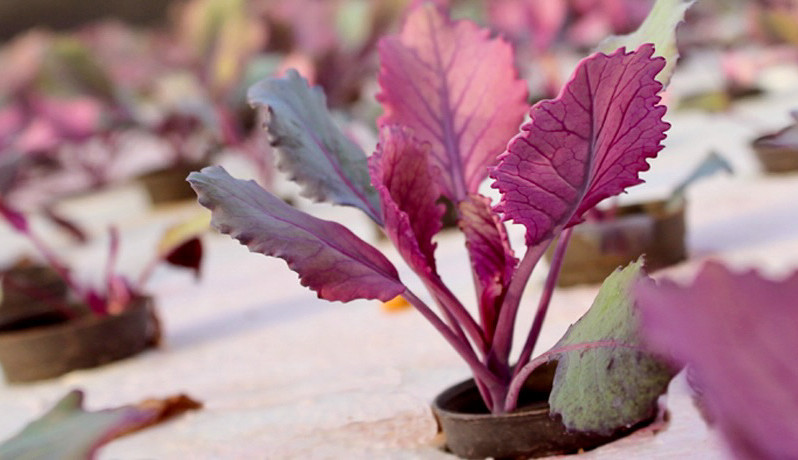 Aquaponic Red Cabbage