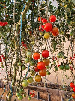 Hydroponic Cherry Tomato