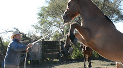 caballo asalvajado