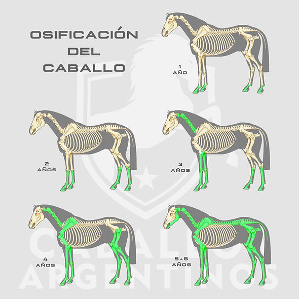 osificacion caballo