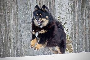 puppies Finnish Laphund,cuccioli Lapinkoira,Vis Et Gloria Kennel, Italia