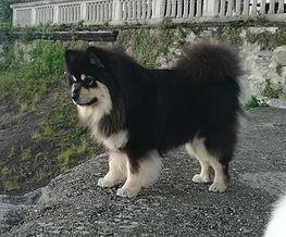 puppies Finnish Laphund,cuccioli Lapinkoira,Vis Et Gloria Kennel