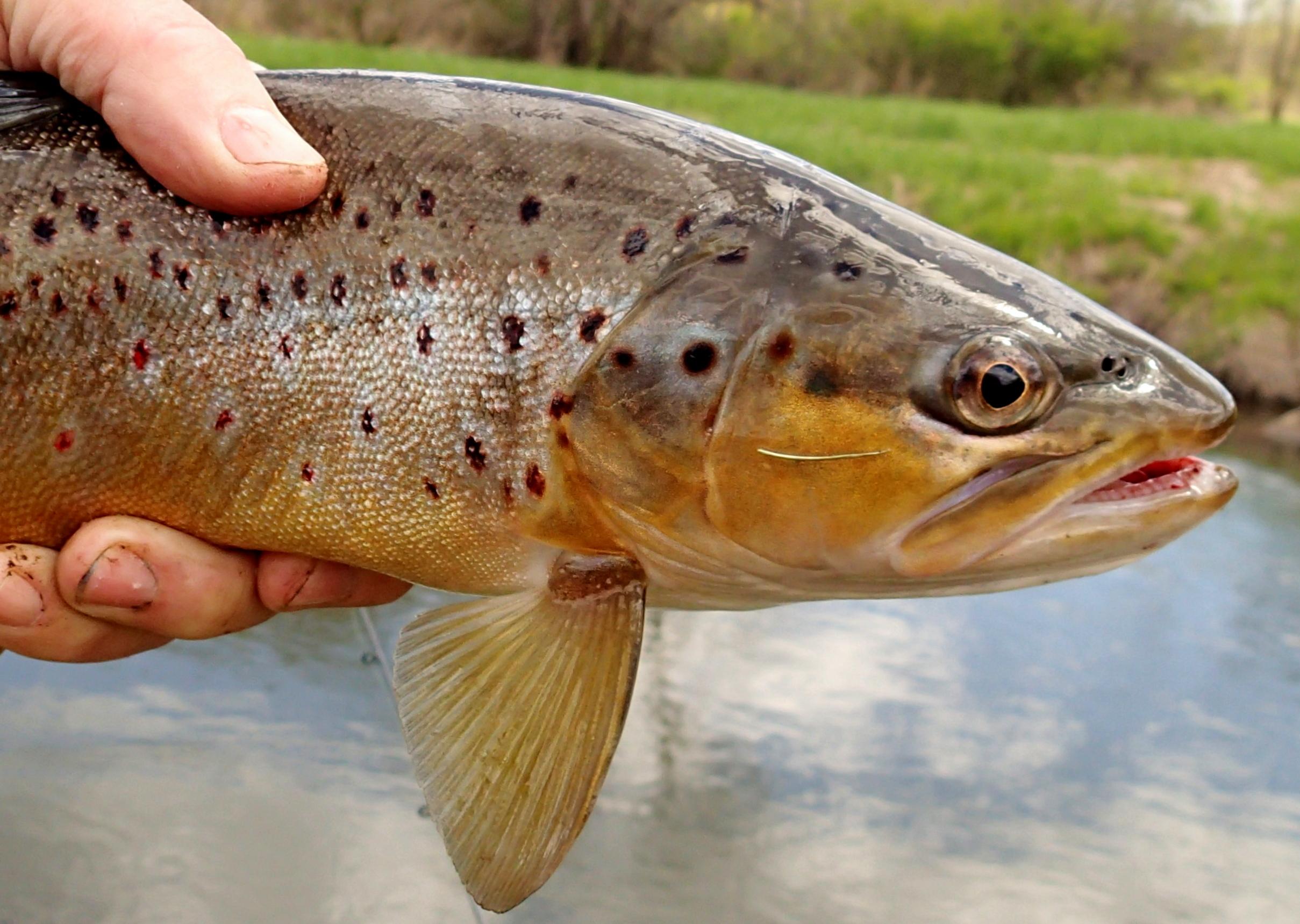 brown56c