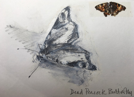 Skecth of a dead Peacock Butterfly