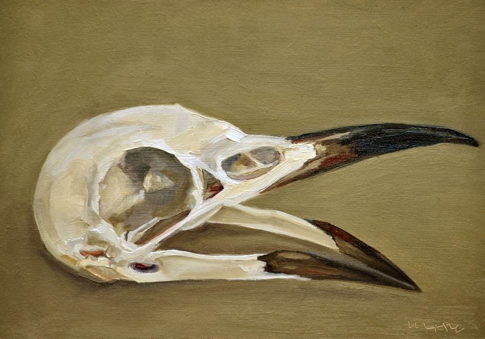 Rook Skull (Corvus Frugilegus)