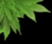 pot-leaf-transparent-png-17_edited.png
