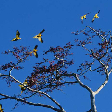 Torben Ulrik Nissen  Flock of Macaws Landing in Tree, 2003 - 2007  archival pigment print, edition of 5  40 x 60 inches