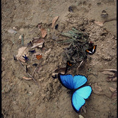 Sam Abell Morpho Butterfly Wings Open, 2003 - 2007 archival pigment print, edition of 10 36 x 24 inches, signed, by the artist