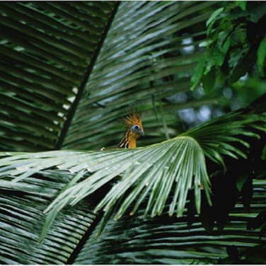 Torben Ulrik Nissen  Hoatzin in Palm Leaves, 2003 - 2007  archival pigment print, edition of 10  24 x 36 inches