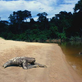 Sam Abell Sloth Crossing, 2003 - 2007 archival pigment print, edition of 5 60 x 40 inches