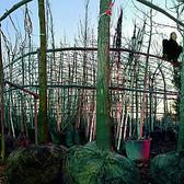 Ellen Kooi  Tree Farm, 2002  C-print mounted on plexi, edition of 8  27.5 x 60 inches