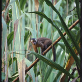 Torben Ulrik Nissen Monkey in Giant Grass, 2003 - 2007 archival pigment print, edition of 10 36 x 24 inches