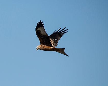 Red Kite Scotland