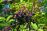 blackelderberry.jpg