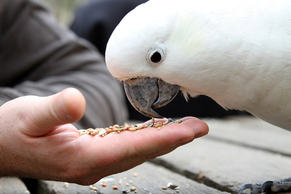 Cockatoo bird eating out of a hand