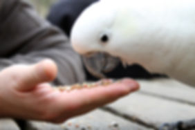 Cockatoo fed from hand